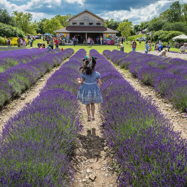 County Lavender Fields Forever!